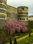 Angers blossom trees